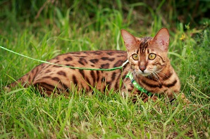 What to know if you are buying a… Bengal Cat