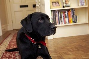 What to know if you're buying a... Labrador Retriever