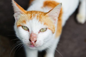 How to tell if your cat has hyperthyroidism