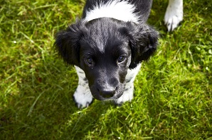 Dog training: how to toilet train a puppy