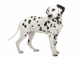 Dalmatians: everything you need to know, right here