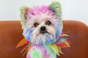 Debate: is dyeing dogs an irresponsible practice or harmless fun?