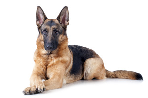 Everything you ever wanted to know about... German Shepherds