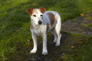 What to know if you're buying a… Jack Russell Terrier