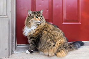 What to know if you are buying a… Maine Coon Cat
