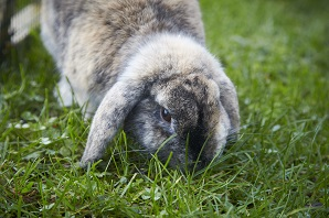 Should I keep my rabbits indoors or outdoors?