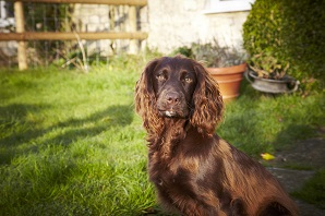 What to know if you're buying an… English Cocker Spaniel