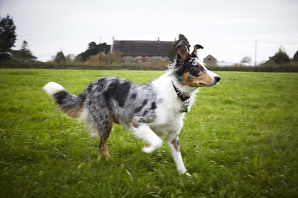 What to know if you're buying a… Border Collie