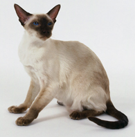 Everything you ever wanted to know about Siamese cats