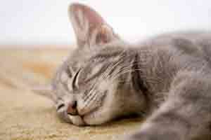 Petplan Find a Pet: top 10 most popular cat breeds