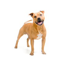 What to know if you're buying a… Staffordshire Bull Terrier