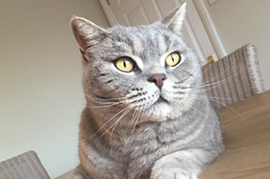 What to know if you're buying a… British Shorthair cat