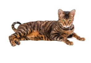 Do cats with wild roots make good pets? Bengals, Toygers and more