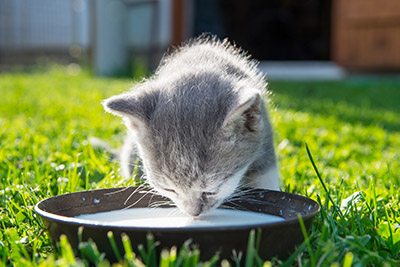 Is milk bad for cats?