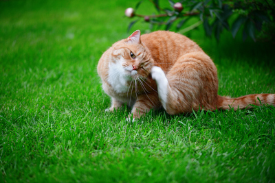 Can cat fleas live on dogs?