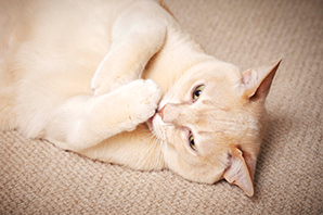 Cat Health - What is cat diabetes?