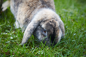 Why do rabbits eat their own faeces?