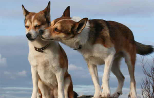 5 of the World's Rarest Dog Breeds   Petplan