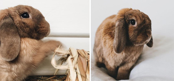 Colin the Mini Lop img