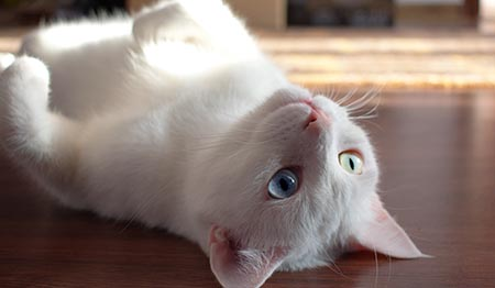 White cat lying on back