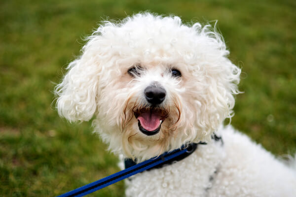 Bichon Frise Dog Breed Temperament Lifespan Amp More