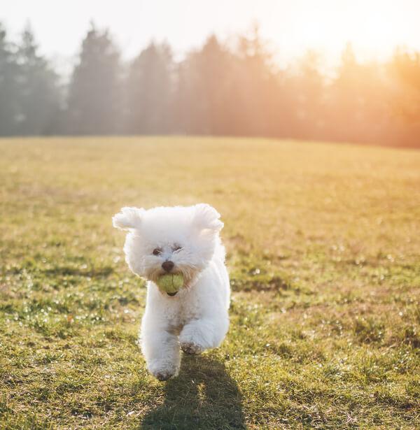 Bichon Frise Dog Breed: Temperament, Lifespan & more