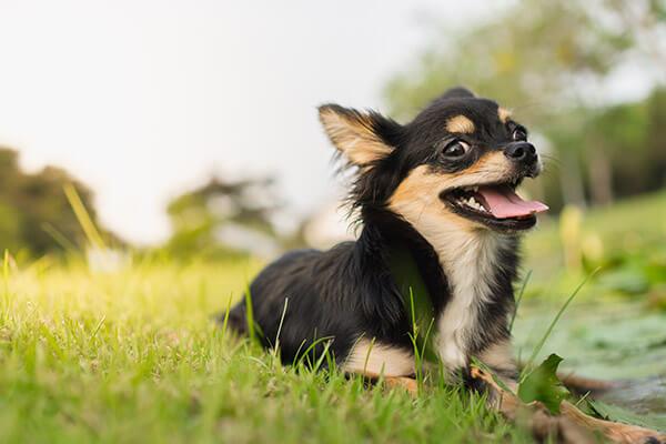 Chihuahua Temperament Lifespan Grooming Training Petplan