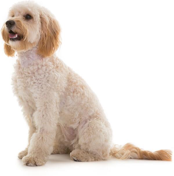 Cockapoo Coats   Eden Dog
