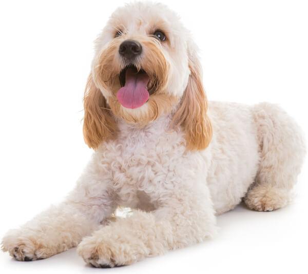 Cockapoo Dog Breed: Temperament, Life Span, Grooming & more