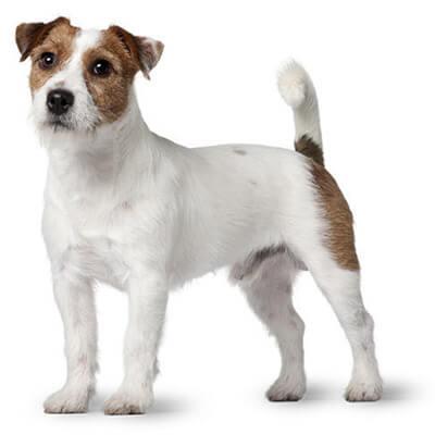 Jack Russell Terrier Dog Temperament Lifespan More Petplan