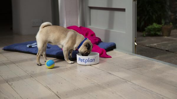 Pug - Dog Breed | Pug Breed Facts, Temperament & More | Petplan