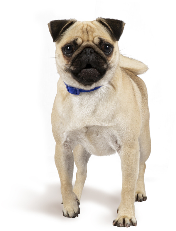 Pug - Dog Breed | Pug Breed Facts, Temperament & More | Petplan
