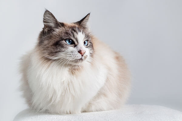 Ragdoll Cat Personality Temperament And Lifespan Petplan