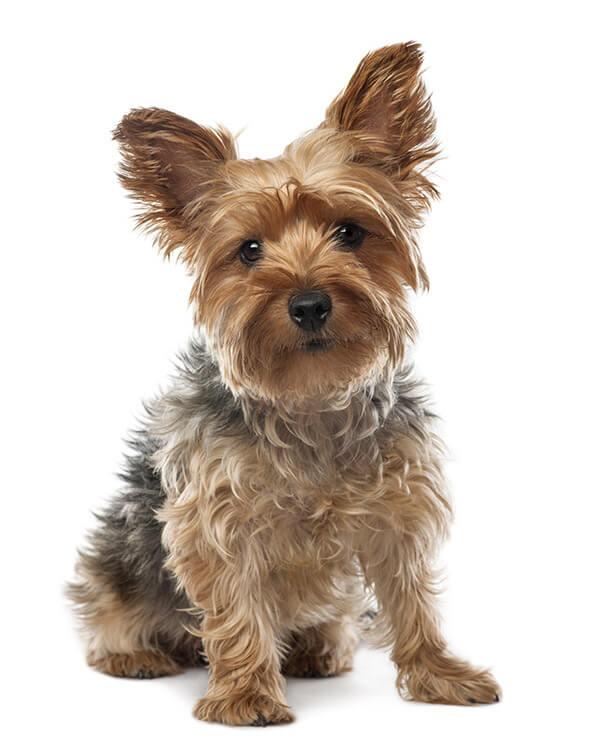 Yorkshire Terrier Temperament Lifespan Grooming Training Petplan