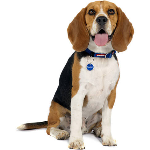 Beagle - breed information and advice