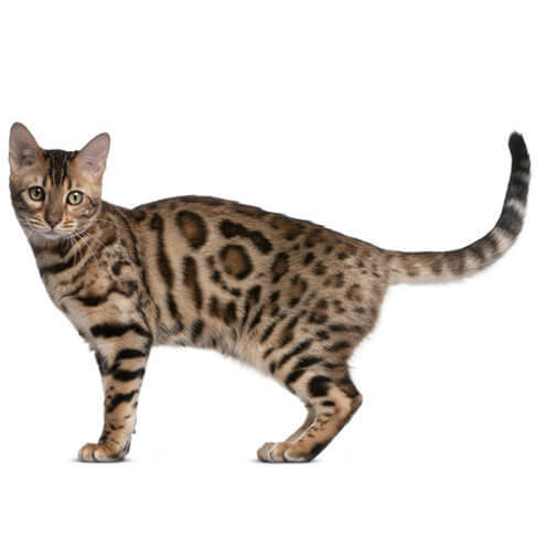 Bengal - breed information and advice