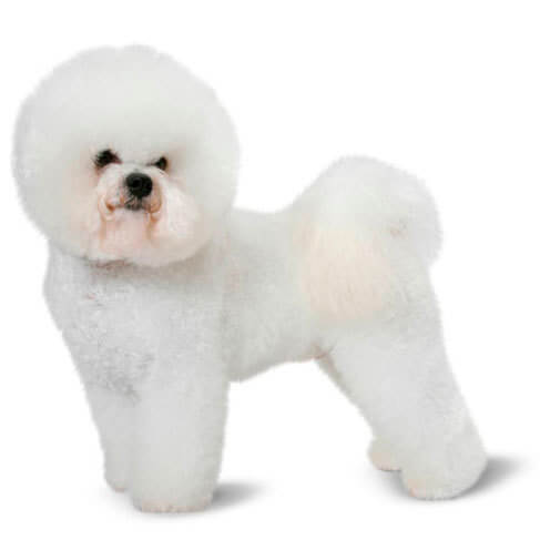 Bichon Frise - breed information and advice