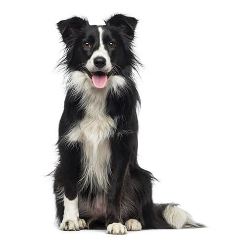 Border Collie - breed information and advice