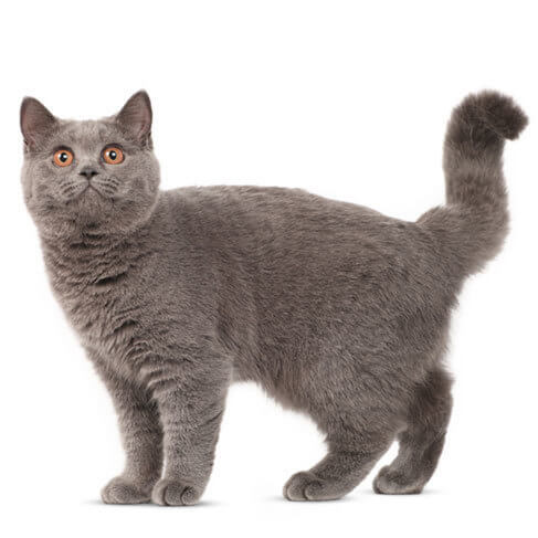 British Shorthair - breed information and advice