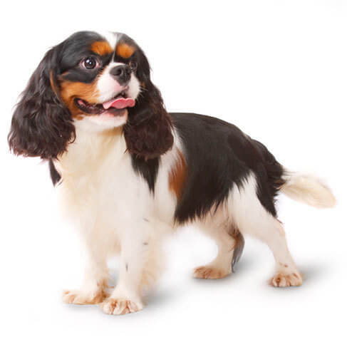 Cavalier King Charles Spaniel - breed information and advice