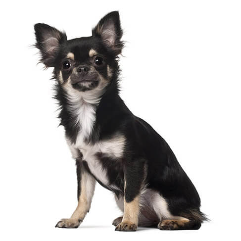 Chihuahua - breed information and advice