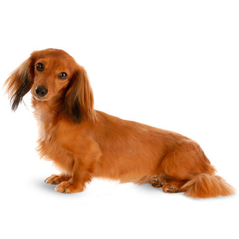 Miniature Dachshund - breed information and advice