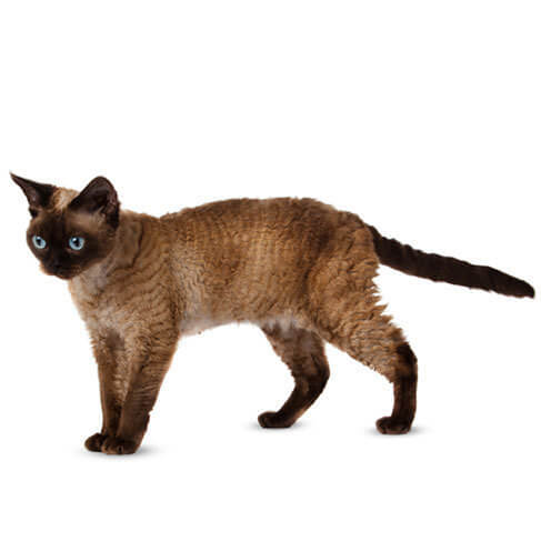 The Devon Rex - breed information and advice
