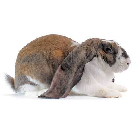 English Lop Rabbit - breed information and advice