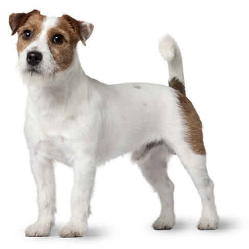 Jack Russell Terrier - breed information and advice