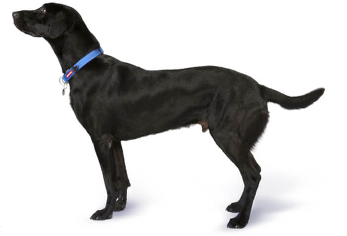 Labrador - breed information and advice