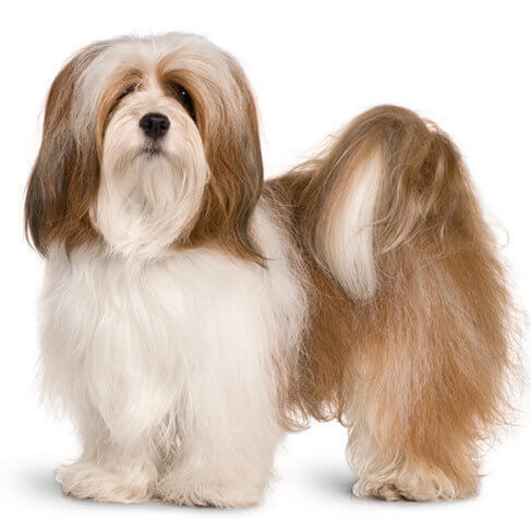 Lhasa Apso - breed information and advice