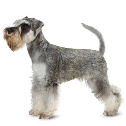 Miniature Schnauzer - breed information and advice