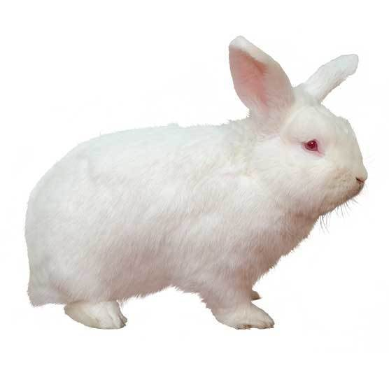 New Zealand White - breed information and advice