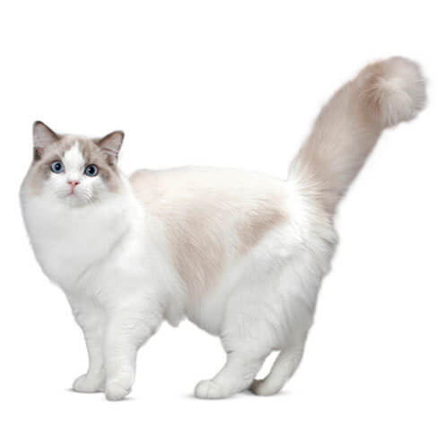 Ragdoll - breed information and advice